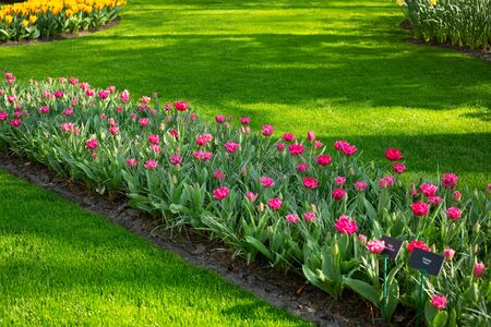 Photo pour Green lawn, flowerbed with beautiful pink tulips. Spring tulips flowers in park. Sunny day. Copy space for text - Image - image libre de droit