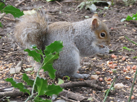 Close up of a grey squirrel eating nuts and birdseed in the park