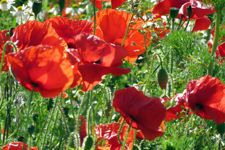 A meadow full of poppies and grasses in rural English countryside