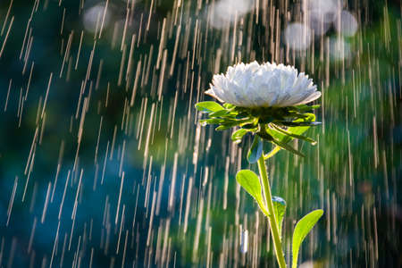 Photo for Beautiful white aster flower on a background of tracks of water drops - Royalty Free Image