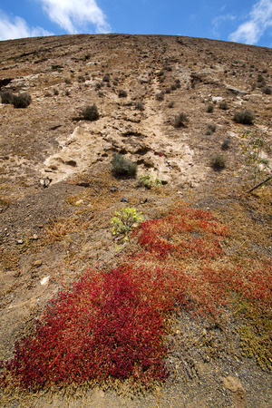 flower  bush timanfaya  in los volcanes volcanic rock stone sky  hill and summer  lanzarote spain plant