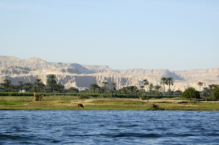 Photo pour Cow on river bank in egypt. River Nile in Egypt. Life on the River Nile - image libre de droit