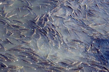 Foto de A flock of huge river fish in the Douro River in the city of Porto. Shoals of fish. - Imagen libre de derechos