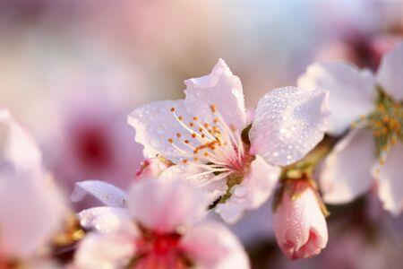 Photo pour Blooming peach blossoms in the park - image libre de droit