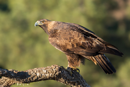 Photo for Golden eagle (Aquila chrysaetos), Andalusia, Spain - Royalty Free Image
