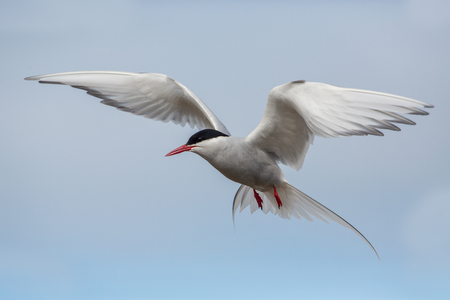 Photo for Flying arctic tern (Sterna paradisae), Iceland - Royalty Free Image