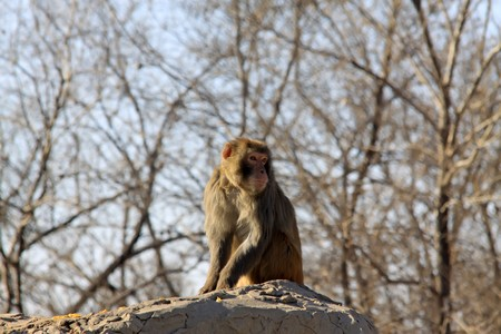 monkey, close up of picture, in winter, Qinhuangdao City, Hebei Province, China.