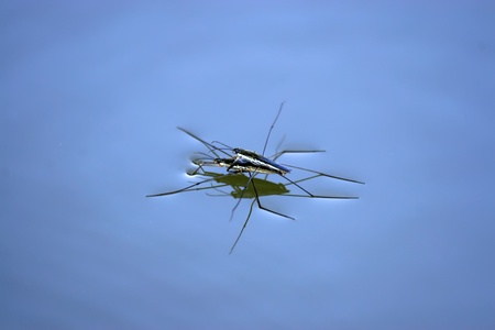 two insects carrying intimately glide in the water