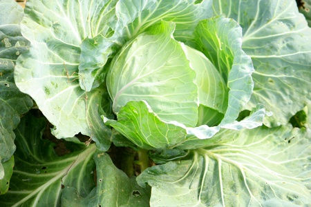 The head of green cabbage on bed