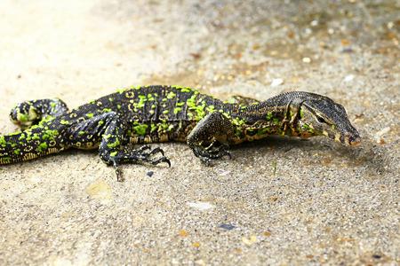 monitor lizard on the floor