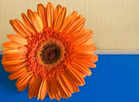 Orange flower on the yellow-dark blue background divided by a white strip