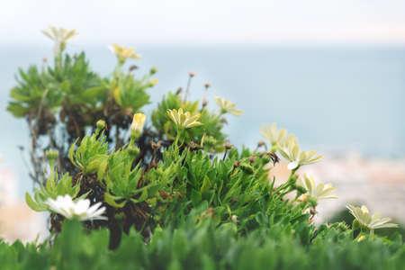 Photo pour Detail of blooming yellow flowers on blurred seascape, Altea, Spain - image libre de droit