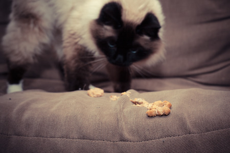 Cat puking hairball on sofa