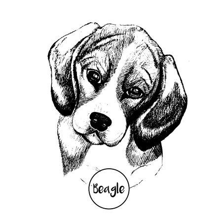 close up portrait of beagle dog. Hand drawn domestic pet dog illustration. Isolated on white background.
