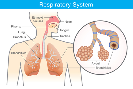 Illustration pour Respiratory system of human. This illustration about anatomy and physiology. - image libre de droit
