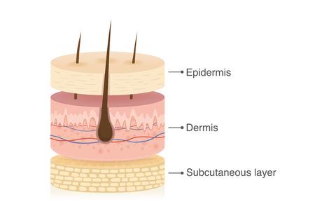Ilustración de Three main layer of the human skin with 3 dimension in circle shape. Illustration about medical diagram. - Imagen libre de derechos