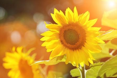 Foto de Big beautiful sunflowers outdoors. Shallow DOF. - Imagen libre de derechos