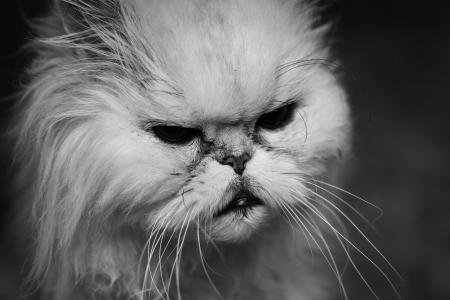 Portrait of grumpy old cat
