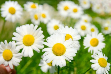 Many camomile flowers on wide field under midday sun