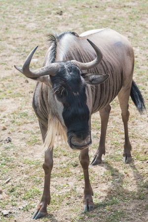 Big wildebeest on a country safari farm