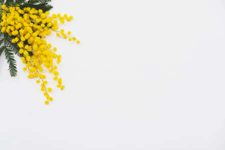 Photo pour Bunch of yellow mimosa flowers in full bloom on white background, top view. Spring blossoms. - image libre de droit
