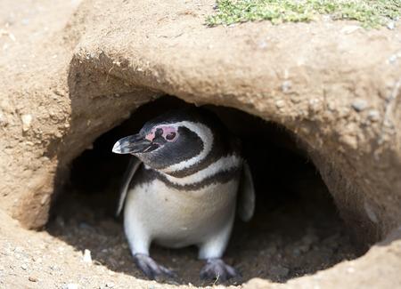 Magellanic penguin in his underground burrow
