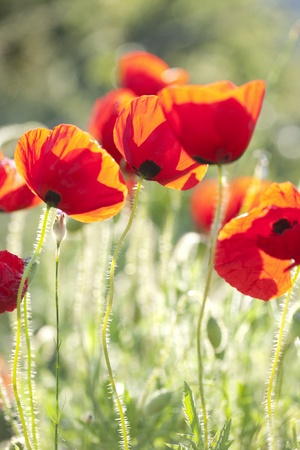 Photo for backlit poppies, soft focus - Royalty Free Image