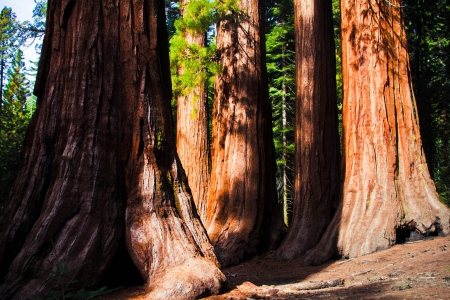 Giant Sequoias in Yosemite National Park