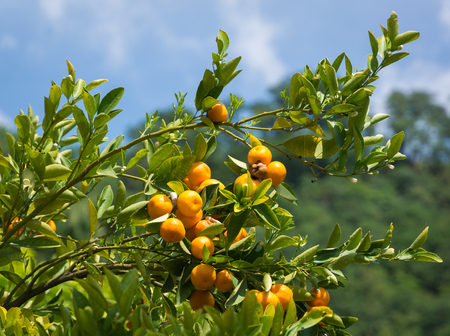 Mandarin orange tree (citrus reticulata) and the blurred background