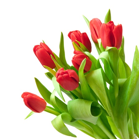 Photo pour red tulips isolated on white - image libre de droit