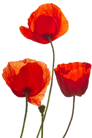 corn poppys isolated on white