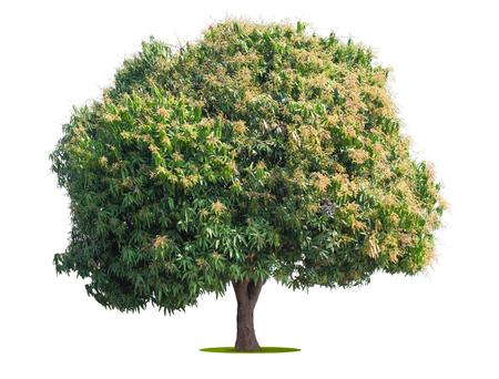 Photo for mango tree isolate on white background - Royalty Free Image