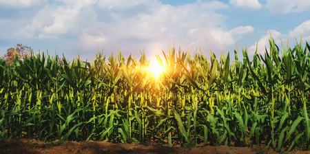 Photo for corn growing in plantation with sun and blue sky - Royalty Free Image