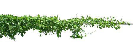 Photo pour green leaf ivy  plant isolate on white background - image libre de droit