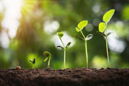 Foto de soybean growth in farm with green leaf background. agriculture plant seedling growing step concept - Imagen libre de derechos