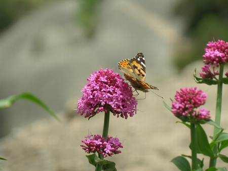 Orange and Black Butterfly on the brightly Pink Flower