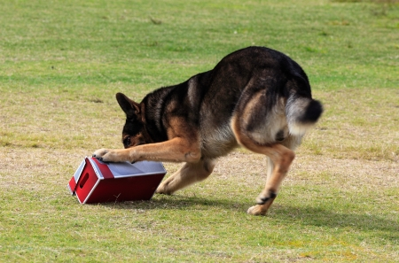 Working German Shepherd dog sniffing a suspecting  package for drugs or explosives.  Note:  there is motion blur in all of the dogs legs.