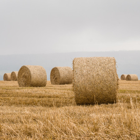 Squared closeup of round straw bales on the stubble of a harvested field in Scotland UK under a gray sky providing soft light and with text space