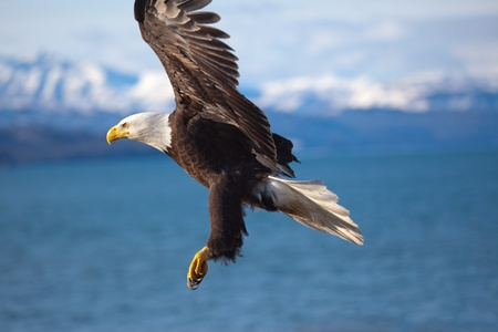 Photo for Photo of an american bald eagle in flight. - Royalty Free Image