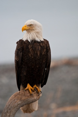 Bald Eagle resting on a perch