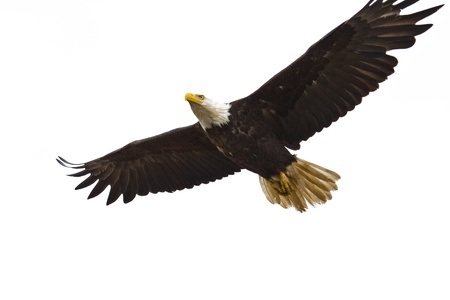 Photo of an American Bald Eagle in flight