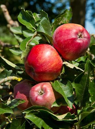 Photo pour  apples on apple tree branch  - image libre de droit