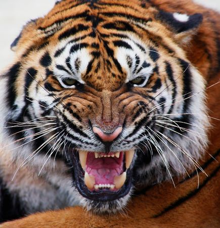 close up of a tiger's face with bare teeth Tiger Panthera tigris altaica