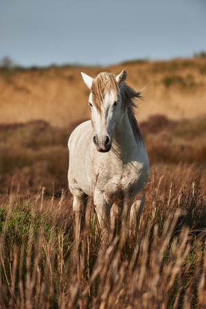 A white stallion of Camargue photographed frontally and vertically
