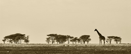 Foto de African landscape with giraffe in black and white - Imagen libre de derechos