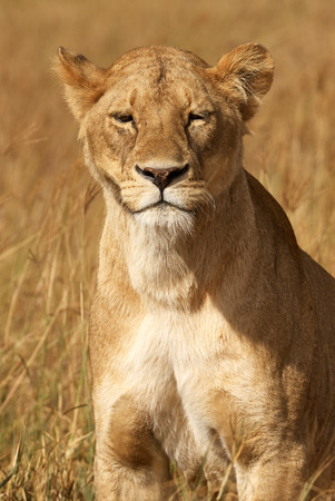 Portrait of a beautiful lioness in the African savannah photographed frontally