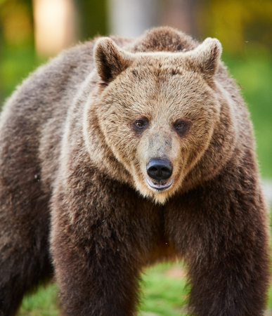 brown bear photographed frontally in a Finnish forest on the border with russia