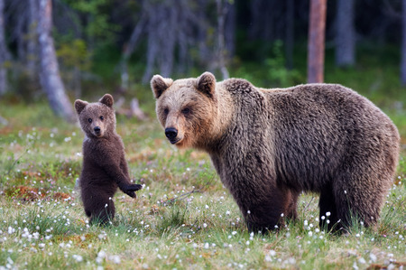Foto de Brown bear cub standing and her mom close - Imagen libre de derechos