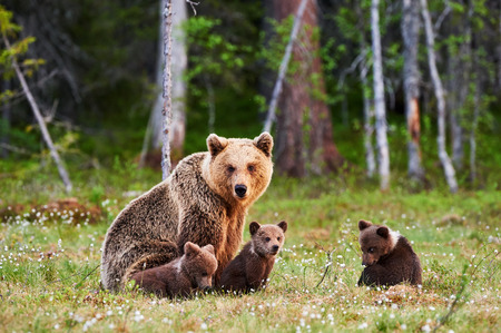 Foto de Brown mother bear protecting her cubs in a Finnish forest - Imagen libre de derechos
