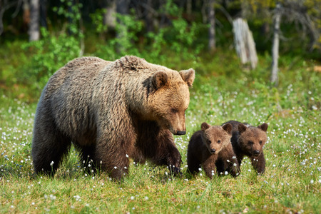 Foto de Mother bear walking in Finnish taiga with its small cubs - Imagen libre de derechos